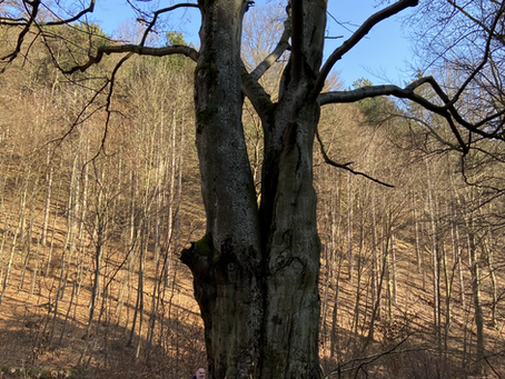 Kraftplatz Herrgottsbuche im Kalkgraben bei der Burgruine Merkenstein