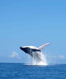 Baleine Moorea