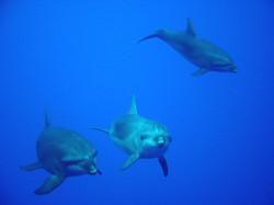 Moorea dolphin