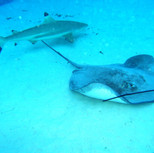 raies et requins th janv 06.JPG