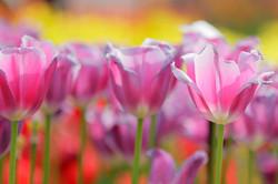 Tulpen Keukenhof