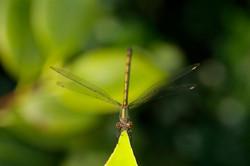 Waterjuffer / Libelle