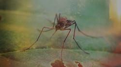 Mosquito Week 1