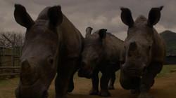 South Africa - 3 rhinos resize