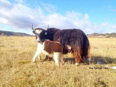 Rosita and Rachel at Hay Springs Yaks