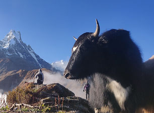 Yak%20in%20Himalayas_edited.jpg