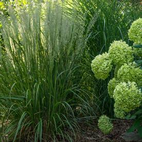 Grasses and Hydrangeas