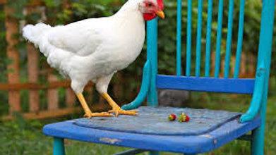 Organic Leghorn Chicken Eggs, Abbey Leys, Cheshire half dozen
