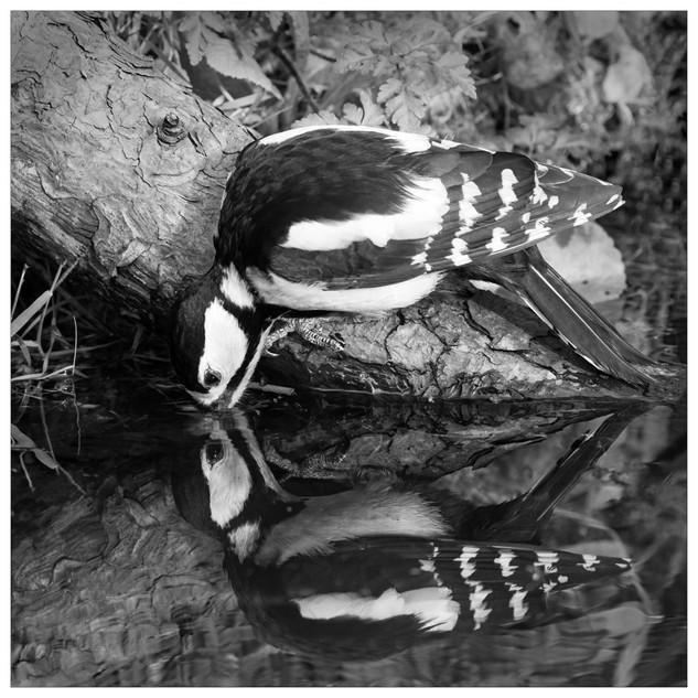M6. Drinking Woodpecker