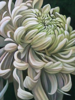 Unwinding Chrysanthemum