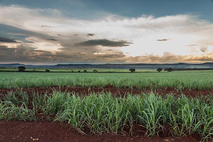 brazilian-sugar-cane-fields-on-sun-set (