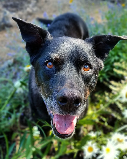Happy black dog, ears up, mouth open, looking at camea