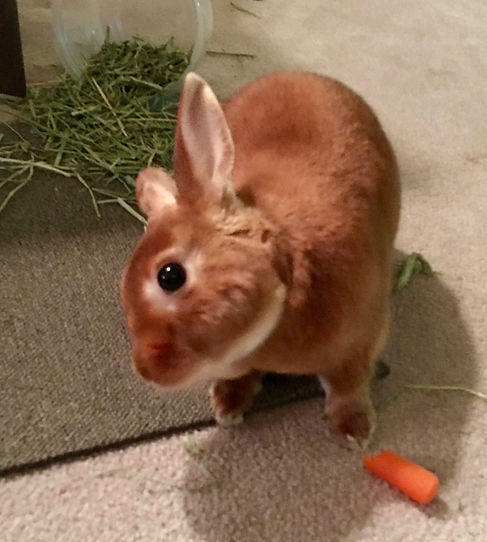 Brown bunny with head tilted, carrot and grass