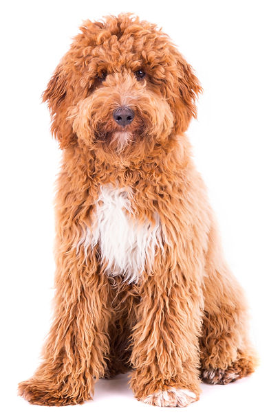 Cute Irish doodle puppy 8 months, isolat