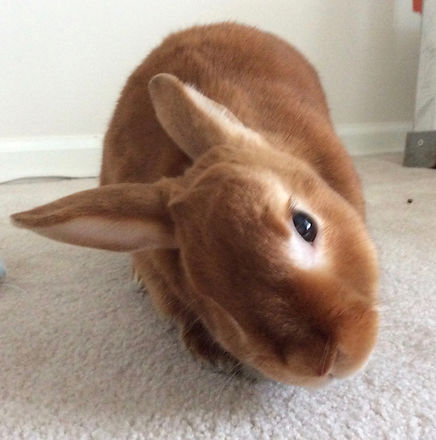 Cute brown bunny looking at camera with head tilted