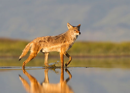 Coyote at sunrise in shallow water