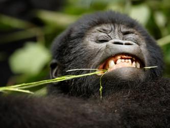 Uganda in baby gorilla boom