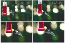 Hummingbirds Feeding