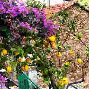lemon tree in Cinque Terre