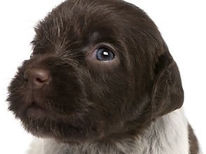 wirehaired griffon puppy