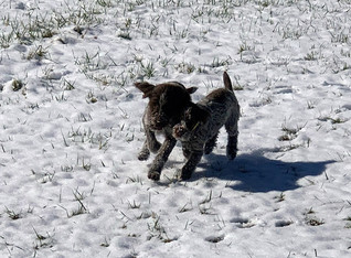 Griffon pups