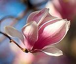 magnolia-flower-v3.jpg