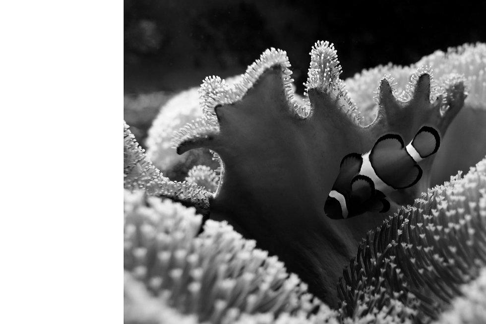 clown-fish-swimming-in-the-corals-P8LU7F