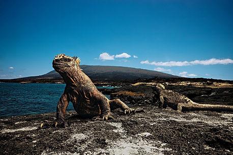 Iguanas en Galapagos
