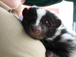 Give Sully Skunk a cuddle!