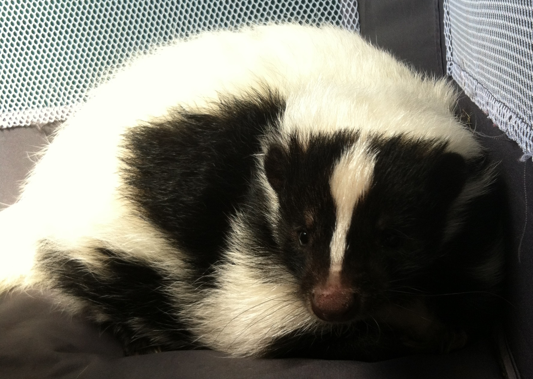 Cuddle Sullivan the Skunk!