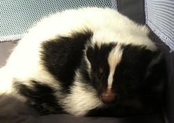 Cuddle Sullivan the Skunk!