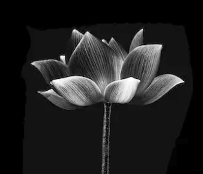 lotus-isolated-on-white-background-260nw-1335426524_edited.jpg