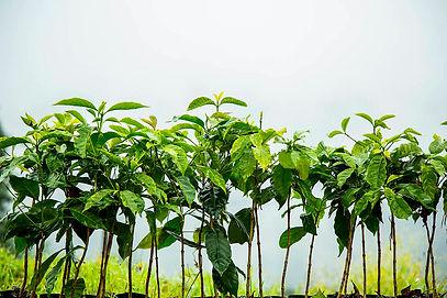 Coffee, specialty coffee and coffee plantations, puebla, turismo sostenible en méxico