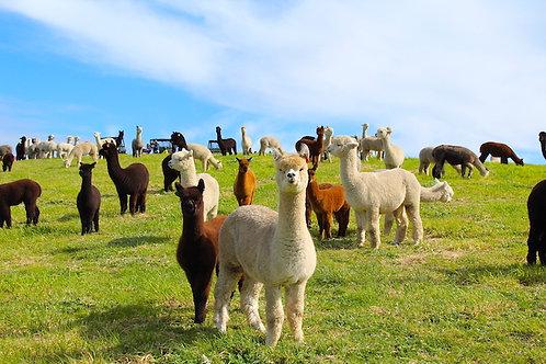 羊驼农场 & 维特港 – 萌宠世界