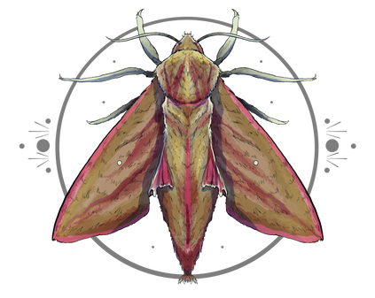 Elephant Hawk Moth.PNG