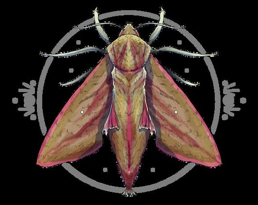 Elephant Hawk Moth.PNG