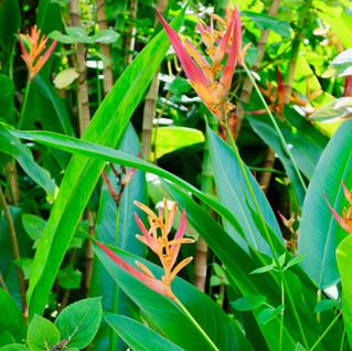 Heliconia Pink.jpg