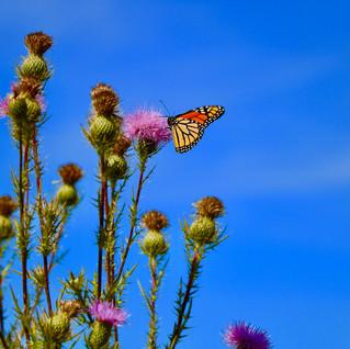 Monarch on Thistle.jpg