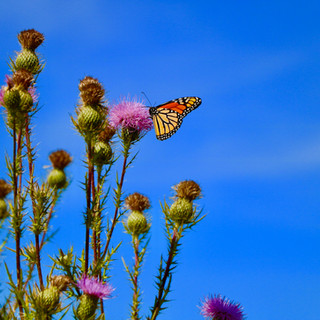 Monarch on Thistle.jpg