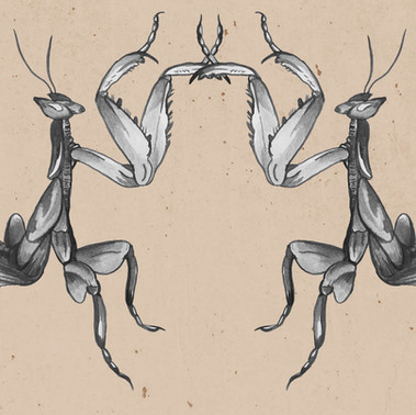 Orchid Mantis - Indian ink