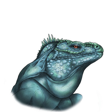 Grand Cayman Iguana -  Fineliner and digital colour