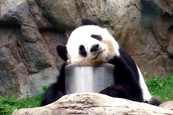 香港海洋公園看熊貓