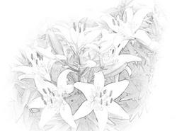 Daylilies 4