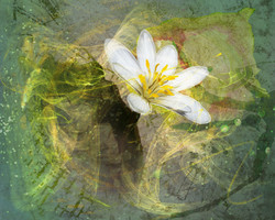 Painted Bloodroot