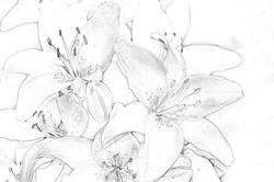 Daylilies 3