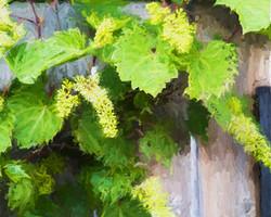 Rambling Garden Grapes