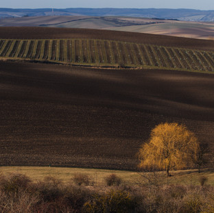 The Story Starts With A Tree. South Moravia.  Copyright © JZeppelina
