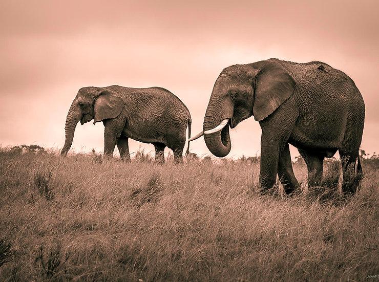 African bush elephant 6