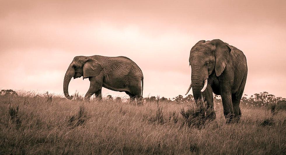 African bush elephant 3