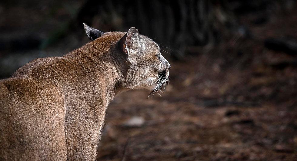 'Cougar'